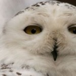 wisdom-owl